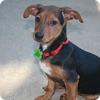 Dachshund/Terrier (Unknown Type, Small) Mix Puppy for adoption in Nanuet, New York - Pepsi
