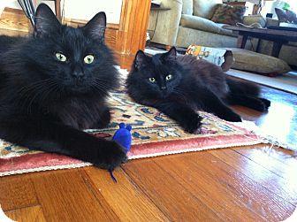 Domestic Longhair Kitten for adoption in Medford, Massachusetts - Velvetino