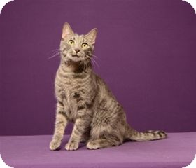 Abyssinian Cat for adoption in Cary, North Carolina - Kai (must go with Happy)