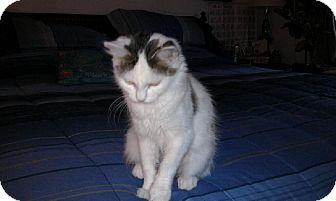 Domestic Mediumhair Cat for adoption in Sterling, Massachusetts - Grace