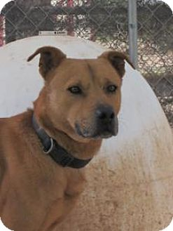 Rottweiler Mix Dog for adoption in Las Cruces, New Mexico - Frasier