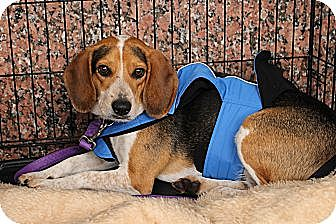 Beagle Mix Dog for adoption in Richmond, Virginia - Buster Brown
