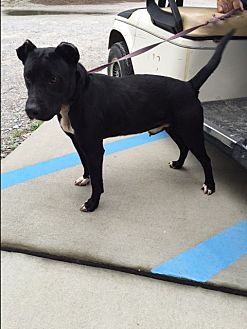 Pit Bull Terrier Mix Dog for adoption in Barnwell, South Carolina - Clipper