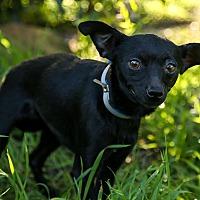 Adopt A Pet :: Blossom - Auburn, CA