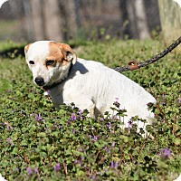 Adopt A Pet :: Sparky - Groton, MA