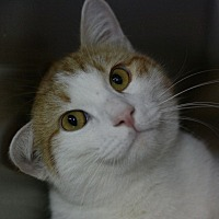 Domestic Shorthair Cat for adoption in Canoga Park, California - O'Malley