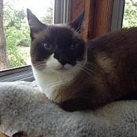 Domestic Shorthair Cat for adoption in St. Paul, Minnesota - Thai