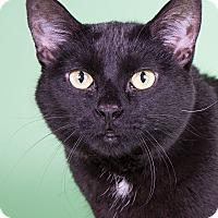 Adopt A Pet :: Sheba - Wheaton, IL