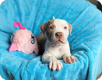 Boxer/American Bulldog Mix Puppy for adoption in Parsippany, New Jersey - ROLAND