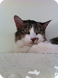 Domestic Mediumhair Cat for adoption in Fountain Hills, Arizona - MARGARITA