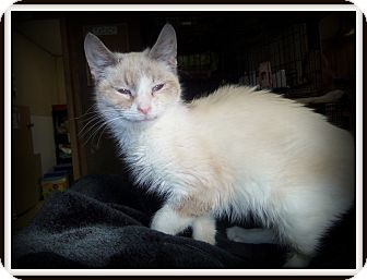 Siamese Cat for adoption in Medford, Wisconsin - MIA