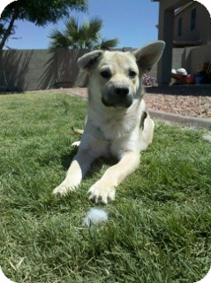 German Shepherd Dog Mix Puppy for adoption in Litchfield Park, Arizona - Alma - Only $95 adoption!