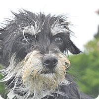 Adopt A Pet :: Stella - Tumwater, WA