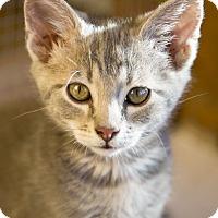 Adopt A Pet :: Samwell - Chicago, IL