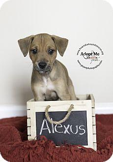 Australian Kelpie Mix Puppy for adoption in Virginia Beach, Virginia - Alexus