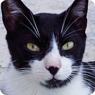 Domestic Shorthair Cat for adoption in Sprakers, New York - Kramer