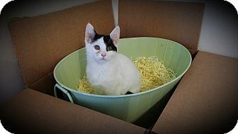 Domestic Shorthair Kitten for adoption in Rochester, Minnesota - Hope