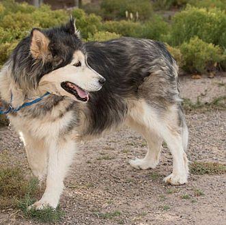Siberian Husky Dog for adoption in Cedar Crest, New Mexico - Anuk