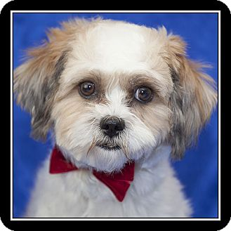 Shih Tzu Dog for adoption in San Diego, California - Kia