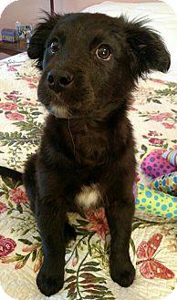Border Collie Mix Puppy for adoption in Homewood, Alabama - Cassie