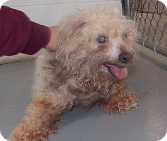 Poodle (Miniature) Mix Dog for adoption in Eighty Four, Pennsylvania - Beetlejuice