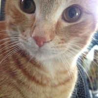 Domestic Shorthair Cat for adoption in Asheville, North Carolina - Finnegan (Courtesy Post)