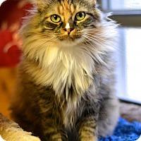 Adopt A Pet :: Sun City Sista Kitty - Waxhaw, NC