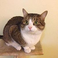 Domestic Shorthair Cat for adoption in Freeport, New York - Banjo
