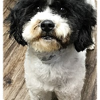 Adopt A Pet :: Agatha Rose - Los Alamitos, CA