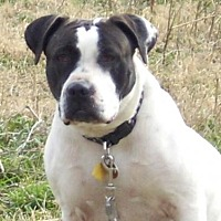 American Bulldog Mix Dog for adoption in Grand Prairie, Texas - Autum
