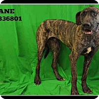 Great Dane Dog for adoption in St. Peters, Missouri - KANE