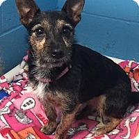 Adopt A Pet :: Bridgit - Joplin, MO