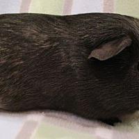 Adopt A Pet :: Pip - Steger, IL