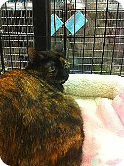 Domestic Shorthair Cat for adoption in Los Angeles, California - Quilpie