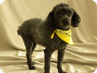 Poodle (Miniature) Dog for adoption in Princeton, Kentucky - Pepper