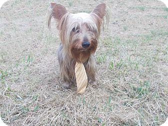 Yorkie, Yorkshire Terrier Dog for adoption in Hazard, Kentucky - Kosmic