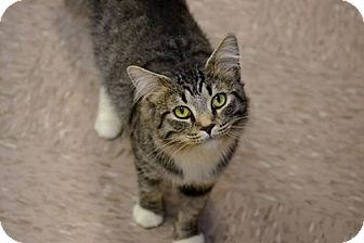 Domestic Mediumhair Cat for adoption in Byron Center, Michigan - Mc'Cracken