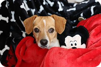 Beagle Mix Dog for adoption in Yucaipa, California - Jerry