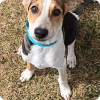 Adopt A Pet :: Bridget - Fort Collins, CO