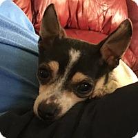 Adopt A Pet :: Pip - Houston, TX