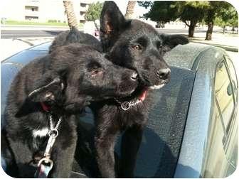 Shepherd (Unknown Type) Mix Puppy for adoption in Phoenix, Arizona - Laverne & Shirley