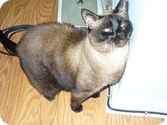 Siamese Cat for adoption in Lake Charles, Louisiana - Koko