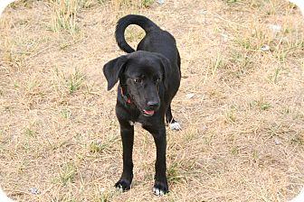 Labrador Retriever Mix Dog for adoption in Westfield, Indiana - Jake