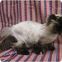 Adopt A Pet :: Sophie - Arlington, VA