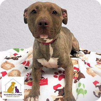 Pit Bull Terrier Mix Dog for adoption in Eighty Four, Pennsylvania - Pumpkin