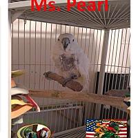 Adopt A Pet :: Ms.Pearl Spc Umbrella Cockatoo - Vancouver, WA