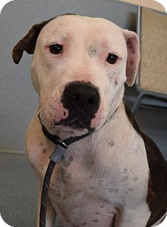 Pit Bull Terrier Mix Dog for adoption in Bay Shore, New York - Mayzie