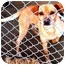 Photo 1 - Chihuahua Mix Dog for adoption in Fowler, California - Mr. Sharpe
