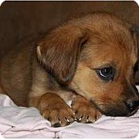 Adopt A Pet :: Louis - Glastonbury, CT