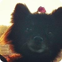 Adopt A Pet :: Baby - Shirley, NY